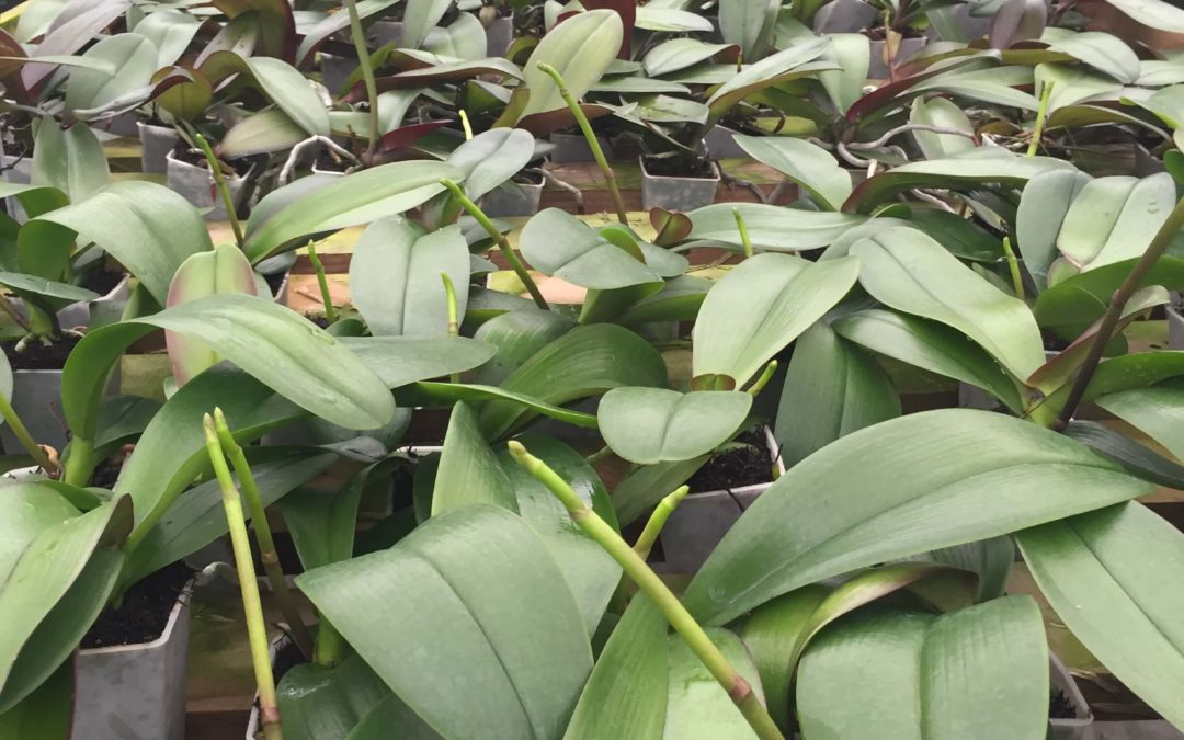 HOW MOTH ORCHIDS THRIVE IN NZ TREE FERN FIBRE