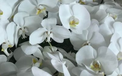 A grade now the norm for Phalaenopsis Nurseries